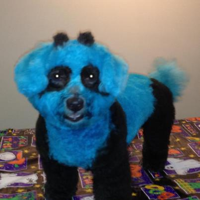 Blue Dyed Standard Poodle Colored Pets