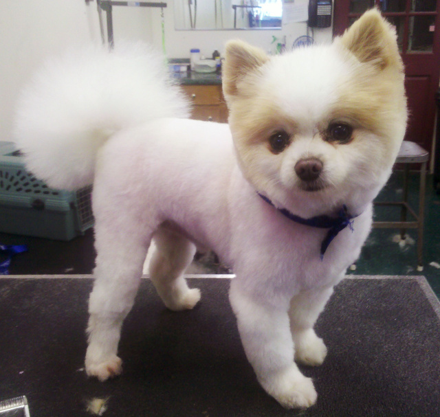 Pomeranian Haircut Styles Pictures | New Style for 2016-2017