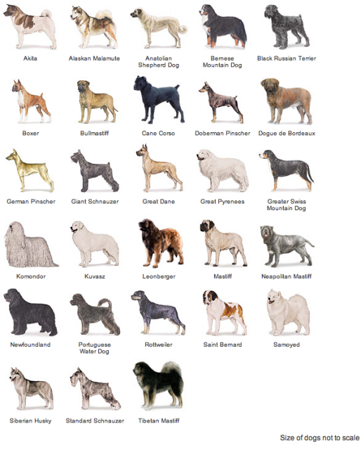 groups of dog breed recognized by the american kennel club akc New york-- a hairless terrier and an ancient north african hound are ready to run with the pack of dog breeds recognized by the american kennel club.
